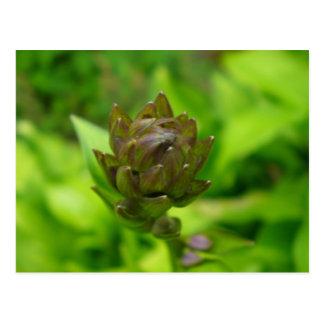 Lilac Hosta Bloom Postcard