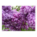 Lilac In Bloom Postcard