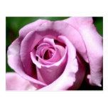 Lilac rose postcard