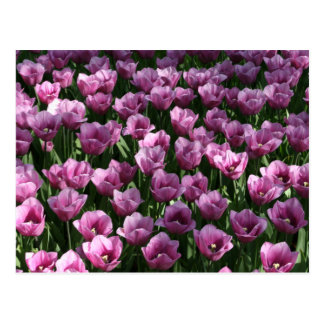 Lilac Tulips Postcard