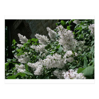 """lilacs"" by Coressel Productions Postcard"