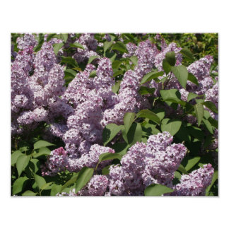 Lilacs in Bloom in East Lansing Posters