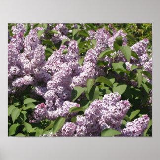 Lilacs in Bloom in East Lansing Posters
