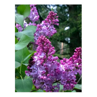 Lilacs In Bloom Postcard