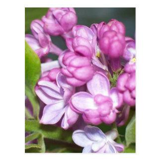 Lilacs in Oregon Postcard