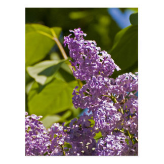 Lilacs in the Sun Postcard