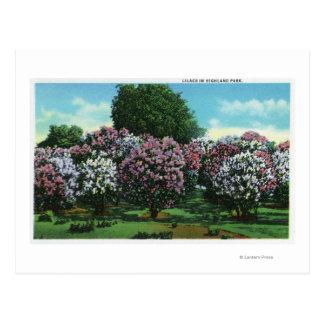 Lilas de Highland Park en la floración Postales