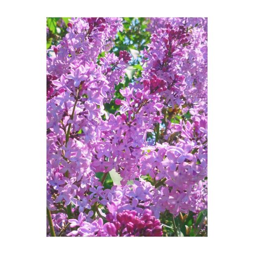 Lilas de la primavera lona estirada galerias