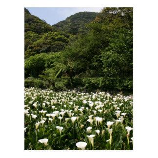 Lilies growing at Calla Lily Plantation, Taiwan Postcard