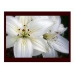 Lilies Postcards