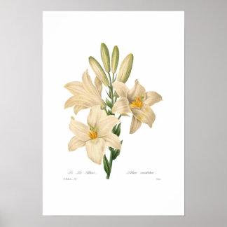 Lilium candidum print