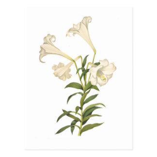 Lilium longiflorum postcard