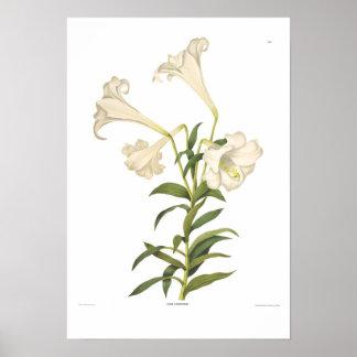 Lilium longiflorum poster
