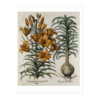 Lilium purpureum mauis Do danei and Scapus cum bul Postcard