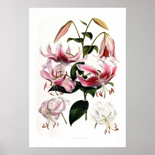 Lilium speciosum poster