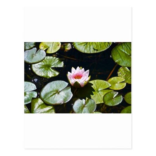 Lilly y Lotus Postales