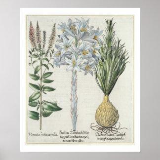 Lily: 1.Sultan Zambach Martagon Constantinopolitan Poster