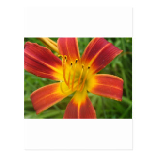 lily,fire color day lily postcard