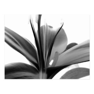 Lily Flower Black and White Floral Photography Postcard