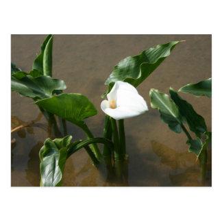 Lily growing at Calla Lily Plantation, Taiwan Postcard