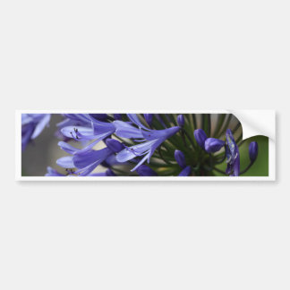 Lily of the Nile  (Agapanthus sp.) Bumper Sticker