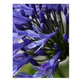 Lily of the Nile  (Agapanthus sp.) Postcard