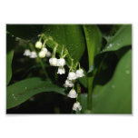 Lily of the Valley 5x7 Photographic Print
