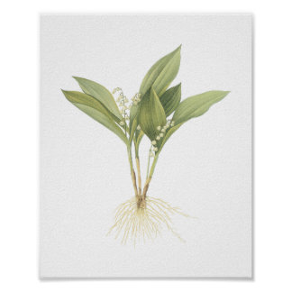 Lily-of-the-valley(Convallaria majalis) by Redouté Poster