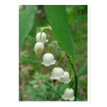 Lily-of-the-valley Postcard