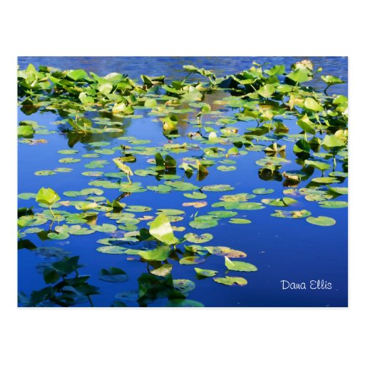Lily on Blue Post Card