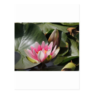 Lily Pad and Flower Postcard