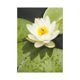 Lily Pads and White Lotus Flower Canvas Print