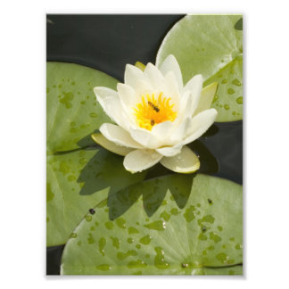 Lily Pads and White Lotus Flower Photographic Print