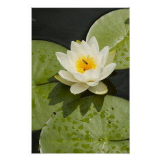 Lily Pads and White Lotus Flower Poster