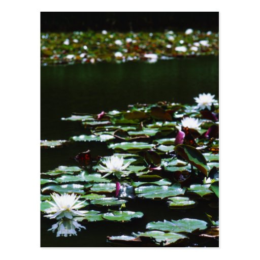 Lily Pond Post Card