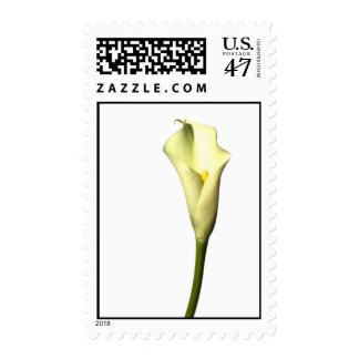 Lily  Single Calla Lily flower on white background Postage