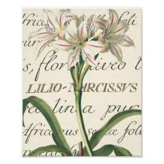 Lily with calligraphic detail poster
