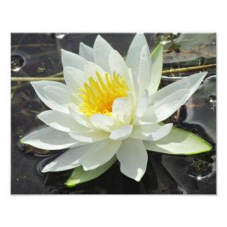 Lilypad bloom photo print