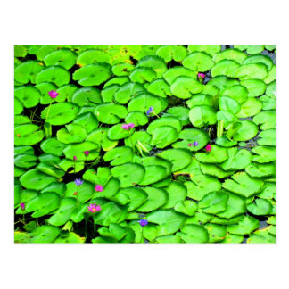 Lilypads in the River Photograph Postcard