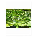 lilypads verdes grandes en una charca postales
