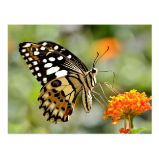 Lime butterfly feeding on flower postcard
