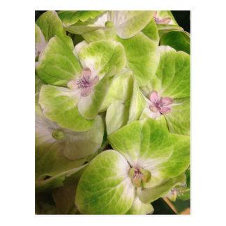 Lime Green Hydrangea Flowers Postcard
