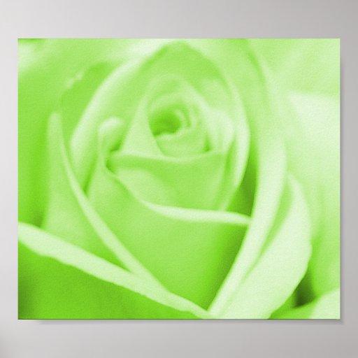 Lime Sherbert  Rose - poster/print