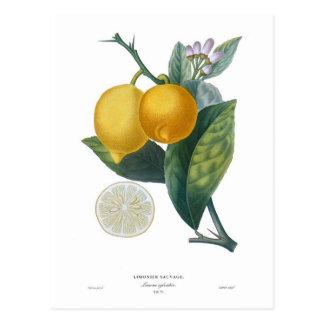 Limón de Pedro - Antoine Poiteau Tarjetas Postales