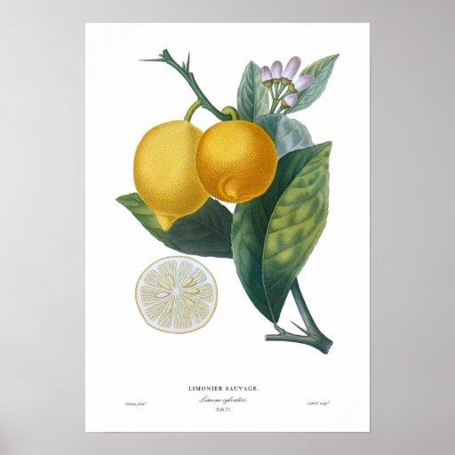 Limón Póster