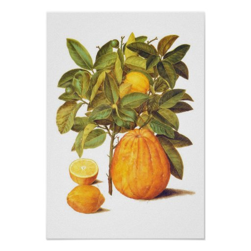 Limón y pomelo posters