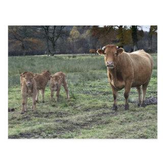 Limousin cow and calves postcard