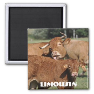 Limousin cow with horns and calf magnet