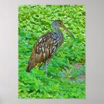 Limpkin, impresión del pájaro del pantano póster