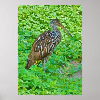 Limpkin, Swamp Bird Print